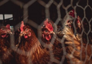 70% of all birds on earth are farmed poultry